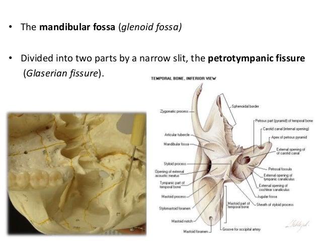 temporal bone1, Human Body