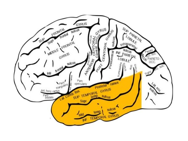 temporal lobes The temporal lobes are part of the cerebrumthey lie at the sides of the brain, beneath the lateral or sylvian fissureseen in profile, the human brain looks something like a boxing glove.