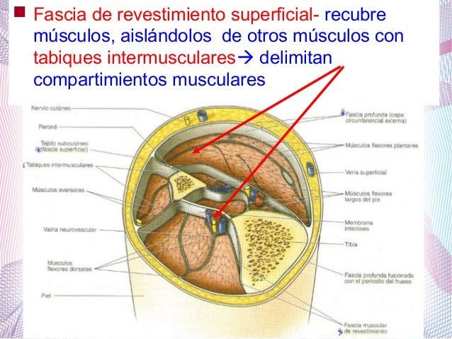 Tendon, mesotendón, fascia, aponeurisis, vainas fibrosa y sinovial