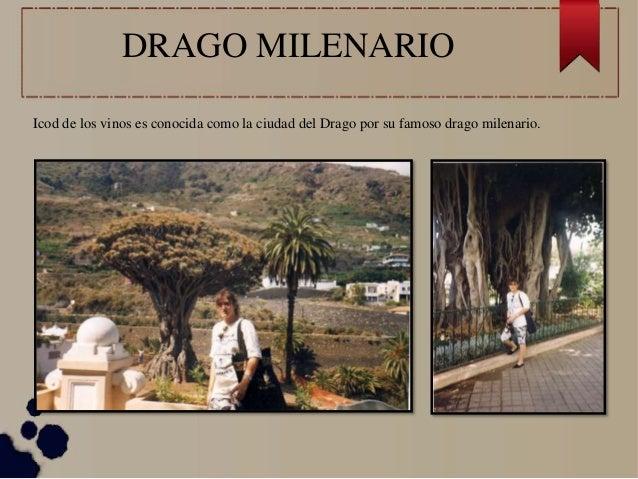 DRAGO MILENARIO Icod de los vinos es conocida como la ciudad del Drago por su famoso drago milenario.