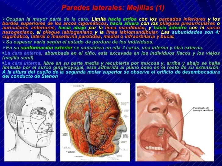 Resultado de imagen para mejillas anatomia