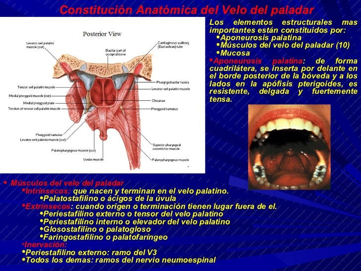 El Velo Anatomia Pictures to Pin on Pinterest - PinsDaddy