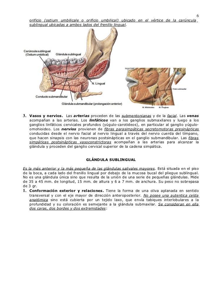 ANATOMIA DE LAS GLANDULAS SALIVALES