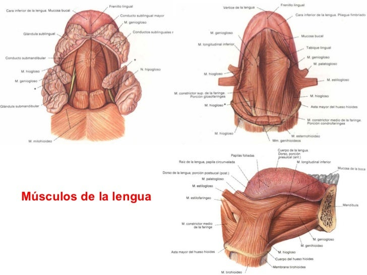 LENGUA Y SENTIDO DEL GUSTO