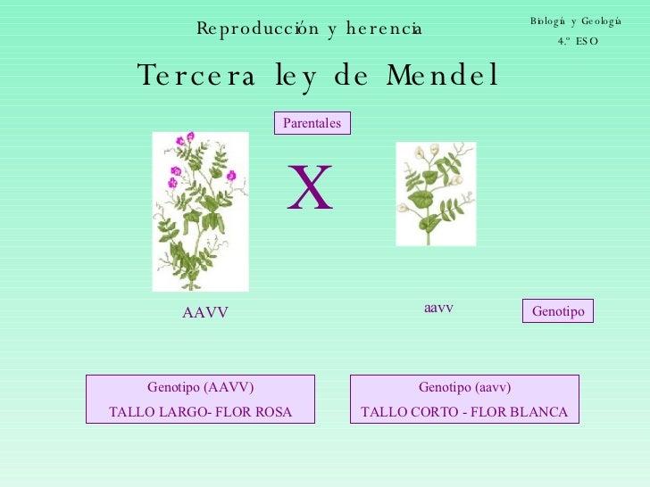 Reproducción y herencia Biología y Geología 4.º ESO AAVV aavv Parentales Genotipo Tercera ley de Mendel X Genotipo (AAVV) ...