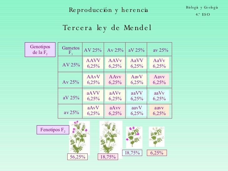 Reproducción y herencia Biología y Geología 4.º ESO Tercera ley de Mendel Genotipos de la F 2 Gametos F 1 Fenotipos F 2 aa...