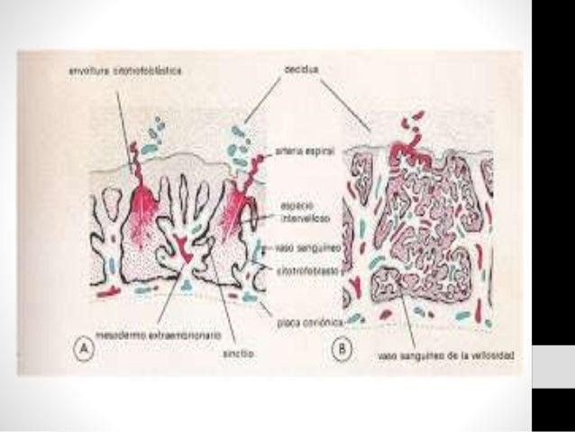 CIRCULACION DE LA PLACENTA • Los cotiledones reciben la sangre de las arterias espirales que perforan la placenta. • Circu...