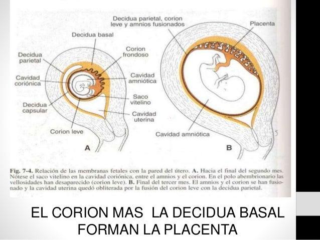 Del tercer mes de gestacion al nacimiento y placenta