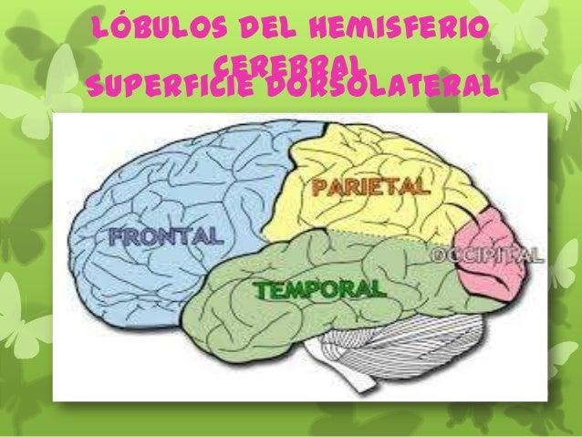 Lóbulos del Hemisferio Cerebral Superficie Dorsolateral