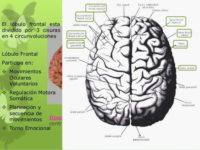 Lóbulo Frontal Ocupa: El área anterior a la cisura central y superior a la cisura lateral El lóbulo frontal esta dividido ...