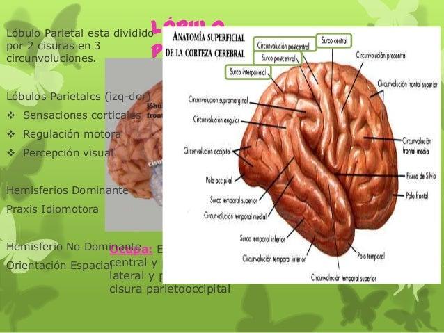 Lóbulo Parietal Ocupa: El área por detrás de la cisura central y por encima de la cisura lateral y posteriormente hasta la...