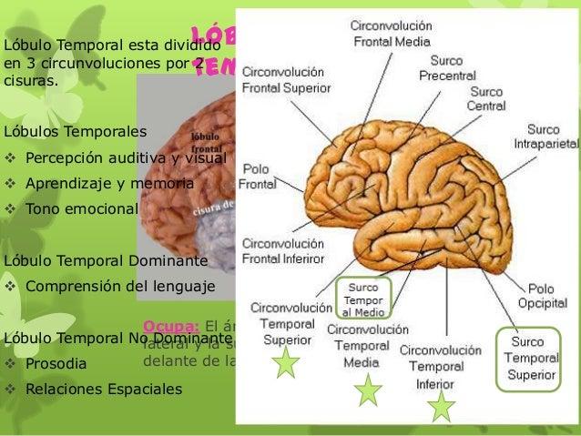 Ocupa: El área inferior a la cisura lateral y la superficie lateral del y por delante de la cisura parietooccipital Lóbulo...