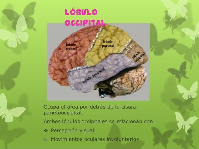 Ocupa el área por detrás de la cisura parietooccipital. Ambos lóbulos occipitales se relacionan con:  Percepción visual ...