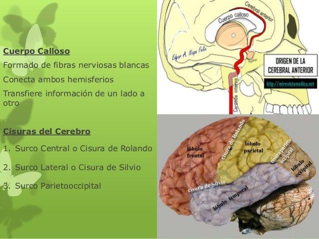 Cuerpo Calloso Formado de fibras nerviosas blancas Conecta ambos hemisferios Transfiere información de un lado a otro Cisu...