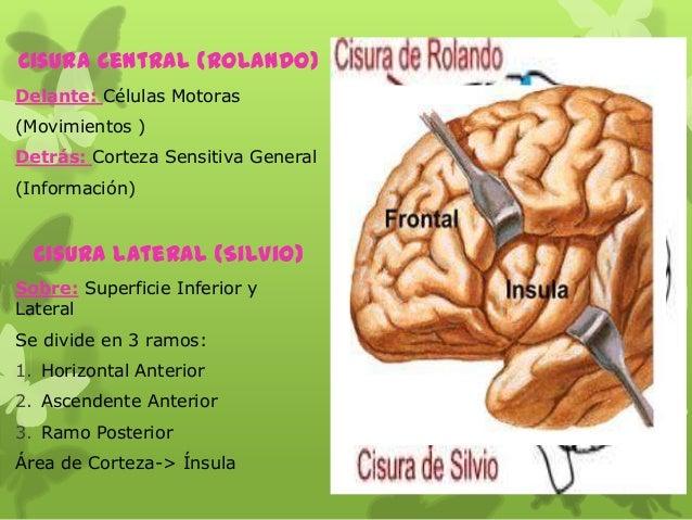 Cisura Central (Rolando) Delante: Células Motoras (Movimientos ) Detrás: Corteza Sensitiva General (Información) Cisura La...