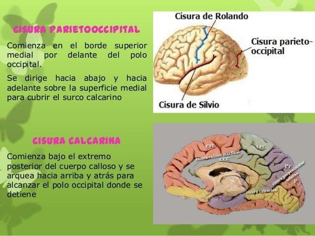 Cisura Parietooccipital Comienza en el borde superior medial por delante del polo occipital. Se dirige hacia abajo y hacia...