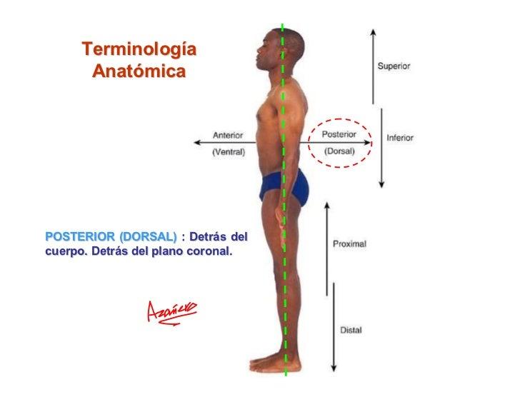 Dorable Anatomía Anterior Definición Galería - Anatomía de Las ...