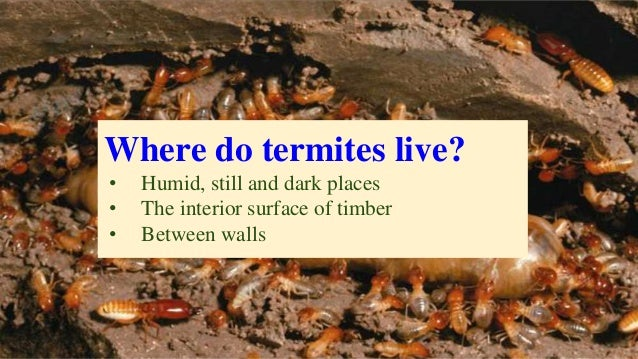 Where do termites live? • Humid, still and dark places • The interior surface of timber • Between walls
