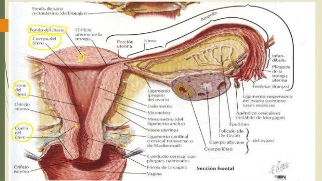 útero anatomia