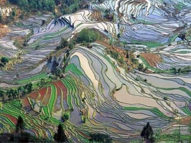 Terraced ricefields (v.m.)