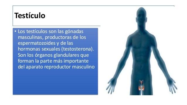 Testiculos anatomia mariana