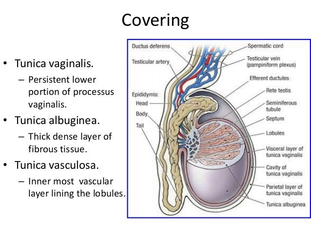 Testis Spermatic Cord