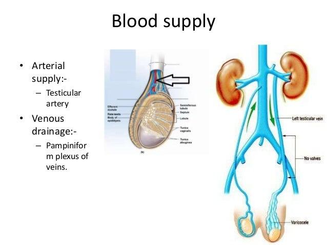 Testis & spermatic cord