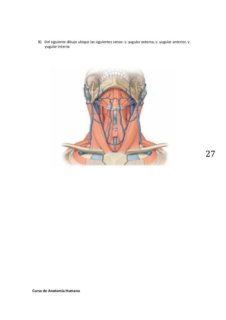 Excelente Anatomía De La Vena Yugular Externa Ornamento - Imágenes ...