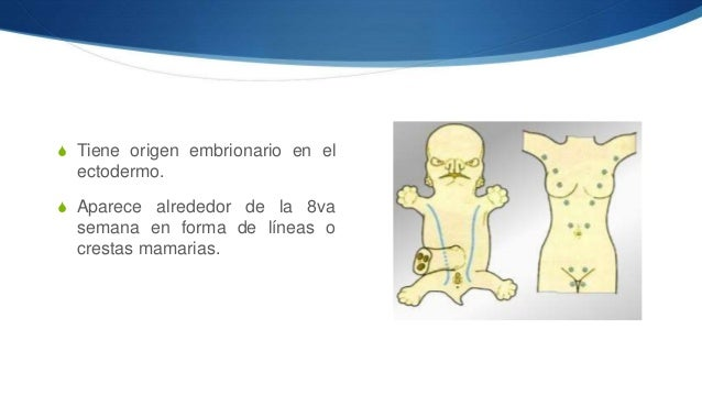 Mama (anatomía)  Slide 3