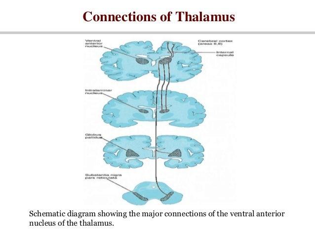 Thalamus 23387722 together with Thalamus 23387722 together with Basal Ganglia Diagram further Thalamus 23387722 likewise Diagram Of Hypothalamus. on thalamus 23387722