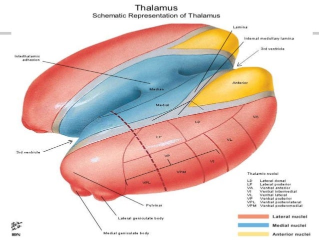 Face Muscle Anatomy Quiz also Thalamus 23387722 likewise 3468556 also 5481557 likewise Organization of the Body. on dorsal and ventral body cavities