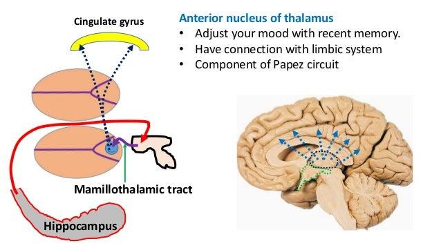 Antomy of Thalamus and hypothalamus