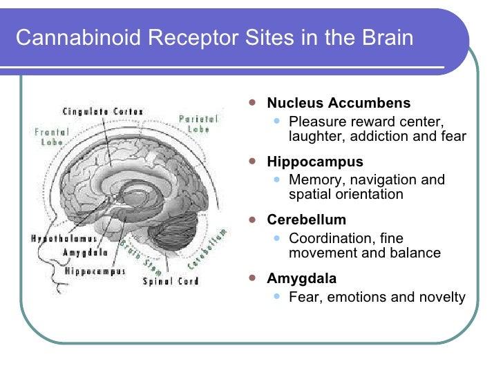 Αποτέλεσμα εικόνας για brain cannabinoid area
