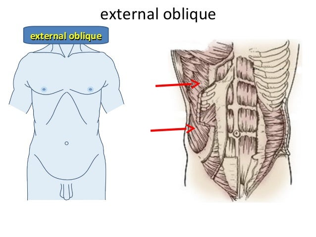 The Abdominal Wall - Muscles of the Trunk