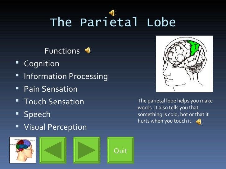 The Parietal Lobe <ul><li>Functions </li></ul><ul><li>Cognition </li></ul><ul><li>Information Processing </li></ul><ul><li...