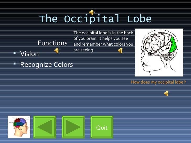 The Occipital Lobe <ul><li>Functions </li></ul><ul><li>Vision </li></ul><ul><li>Recognize Colors </li></ul>The occipital l...