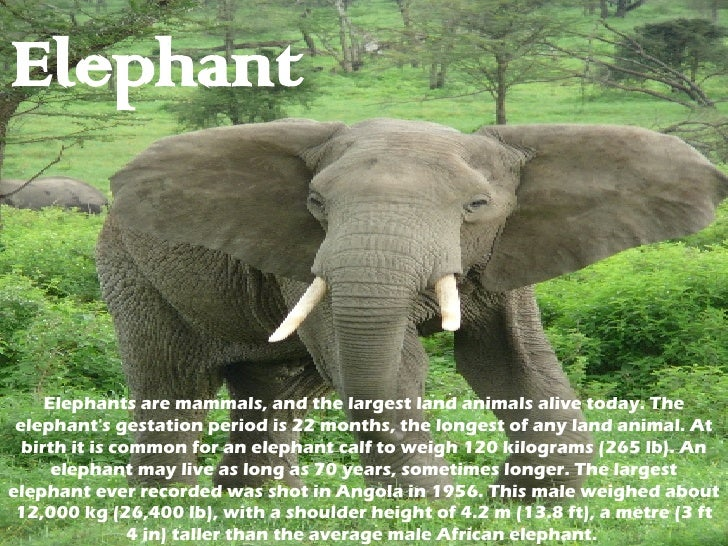 Elephant Elephants are mammals, and the largest land animals alive today. The elephant's gestation period is 22 months, th...