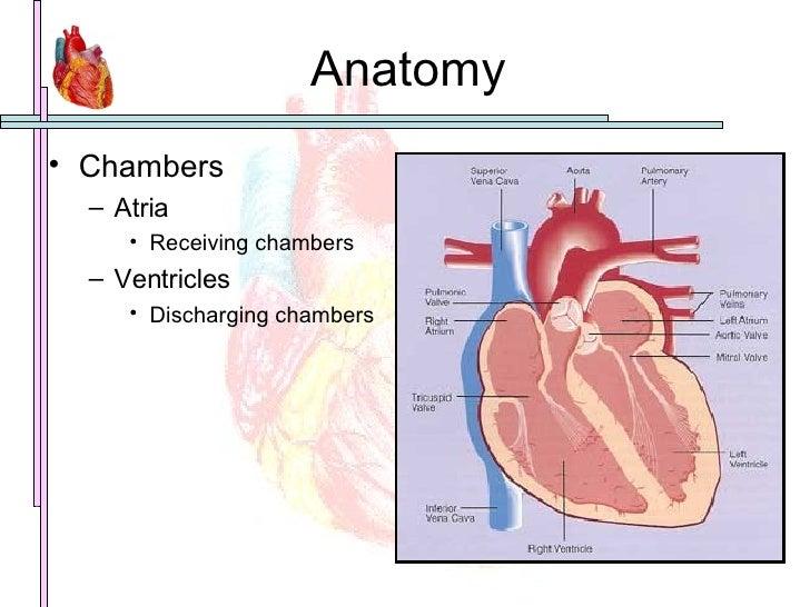 Anatomy <ul><li>Chambers </li></ul><ul><ul><li>Atria </li></ul></ul><ul><ul><ul><li>Receiving chambers </li></ul></ul></ul...