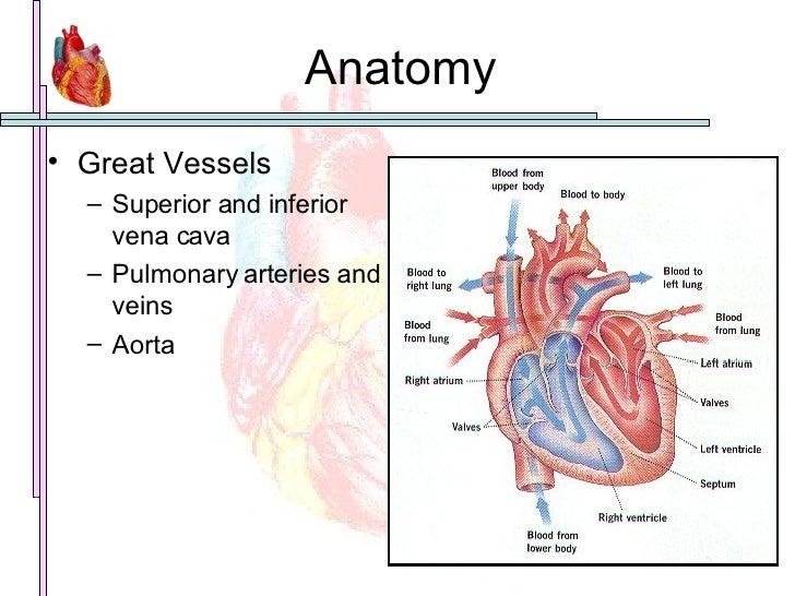 Anatomy <ul><li>Great Vessels </li></ul><ul><ul><li>Superior and inferior vena cava </li></ul></ul><ul><ul><li>Pulmonary a...