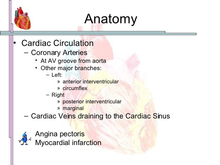 Anatomy <ul><li>Cardiac Circulation </li></ul><ul><ul><li>Coronary Arteries </li></ul></ul><ul><ul><ul><li>At AV groove fr...