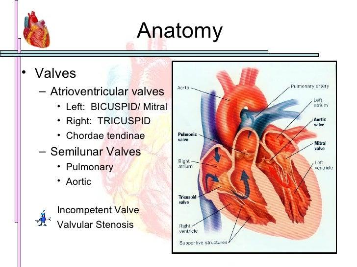 Anatomy <ul><li>Valves </li></ul><ul><ul><li>Atrioventricular valves </li></ul></ul><ul><ul><ul><li>Left:  BICUSPID/ Mitra...