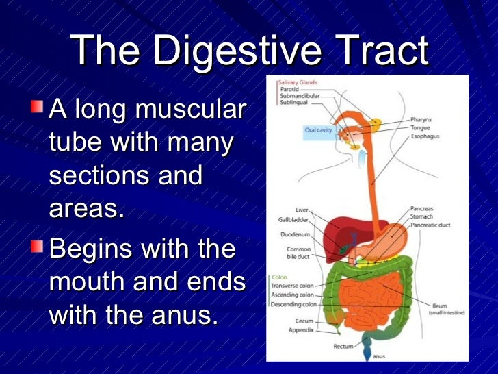The digestive system powerpoint 7 the digestive tract toneelgroepblik Images