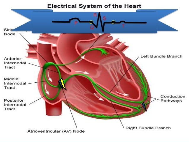 The Electrical Conduction System Of The Heart Now With