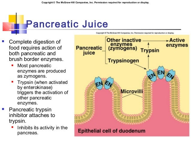 the exocrine functions of the pancreas, Human Body