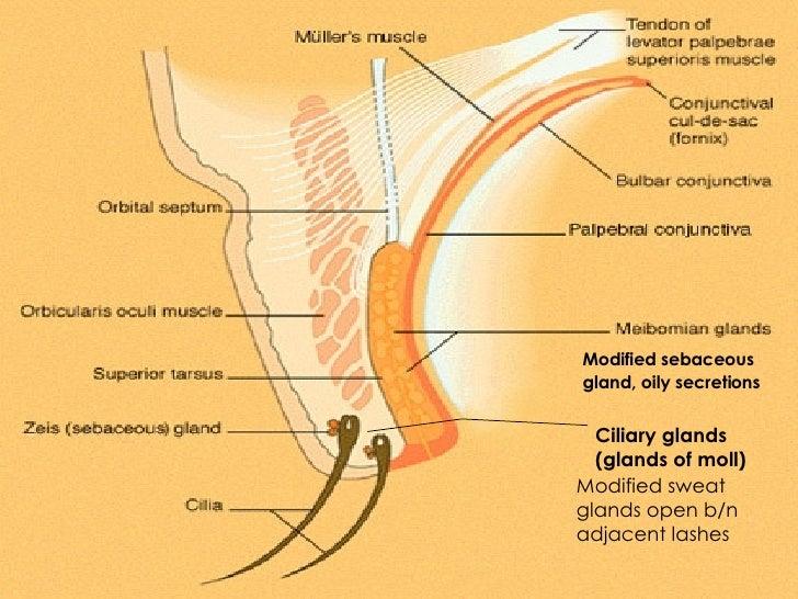 Gland moll eye diagram auto electrical wiring diagram the eyelids husam salhab rh slideshare net clogged sweat glands eccrine sweat glands ccuart Images