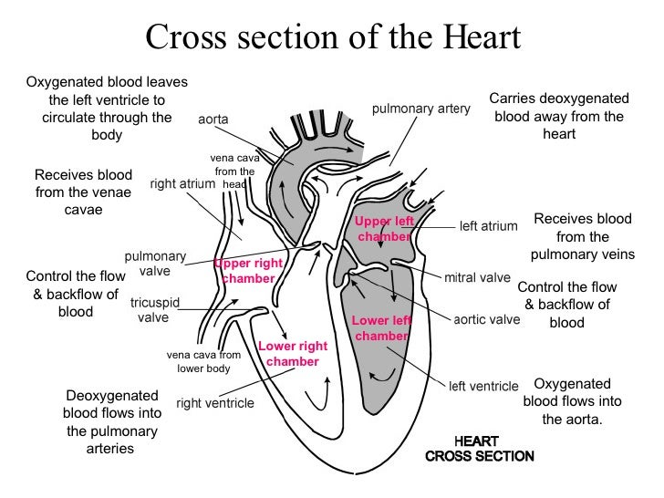 Ib biology the heart cross section of the heart ccuart Choice Image