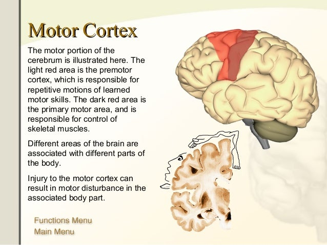 The human-brain-anatomy-1232300552416209-3
