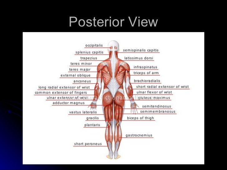 The muscular system powerpoint anterior view 3 ccuart Images
