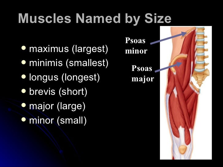 The Muscular System Powerpoint