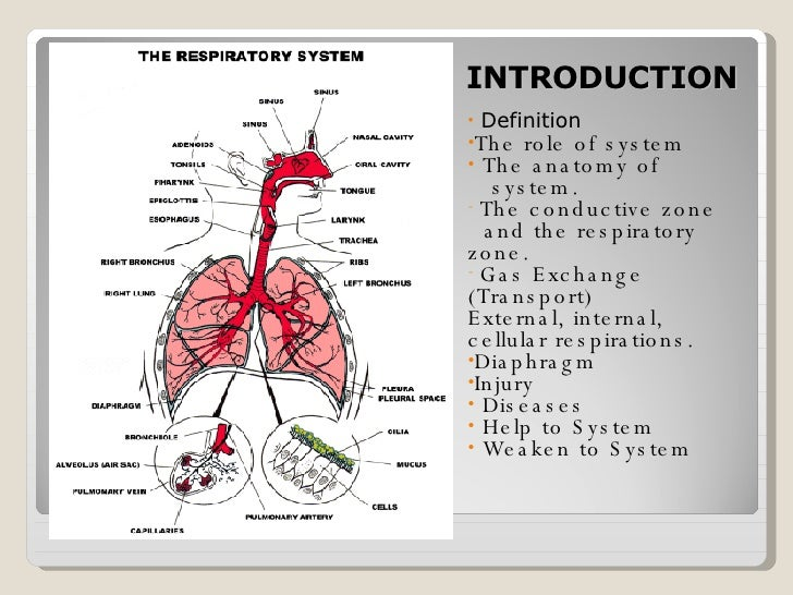 the respiratory system, Human Body